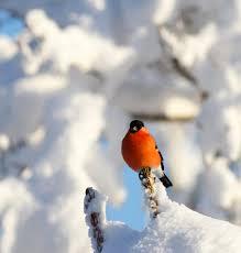 Domherre på vintern